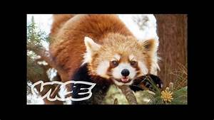 Cute Red Pandas! - YouTube