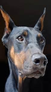 Puppy Doberman Pinscher with Floppy Ears