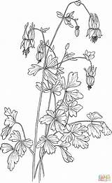 Columbine Aquilegia Coloring Canadensis Eastern Pages Drawing Flowers Flower Drawings Pencil Printable Draw Super Supercoloring Categories sketch template