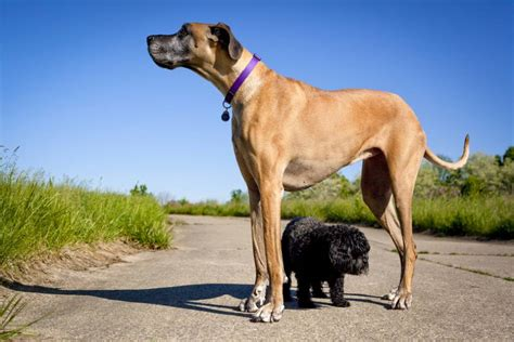top  largest dog breeds   world puppies club