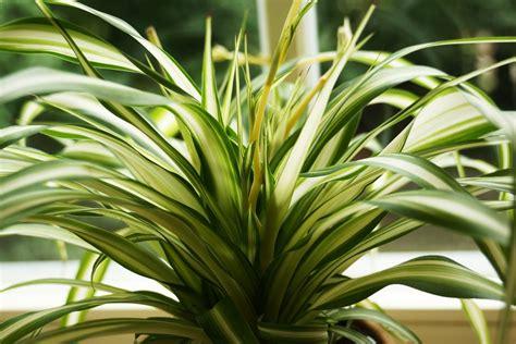 Zimmerpflanzen Portraet Gruenlilie by Gr 252 Nlilie Chlorophytum Comosum Pflege Anleitung