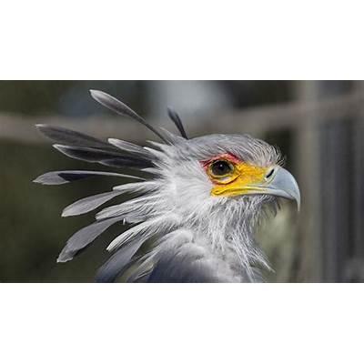 Secretary BirdSan Diego Zoo