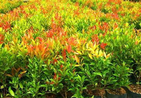 menanam pucuk merah memperbanyak pucuk merah