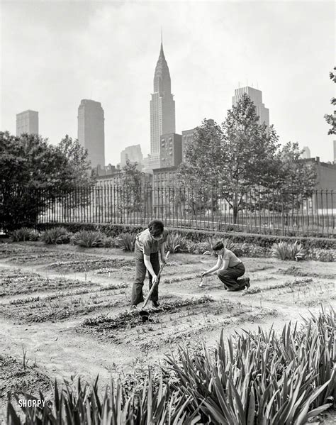 victory garden nyc shorpy historic picture archive onions 1942 high