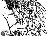 Moss Tree Spanish Coloring Template Pages Sketch sketch template