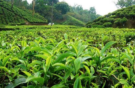 cha garden sf tea gardens in bangladesh beautiful sylhet tea gardent