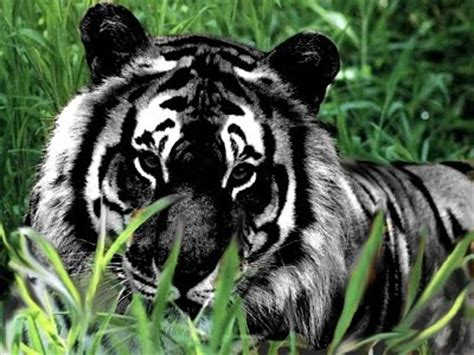 Black Tiger Yes Completely Real There