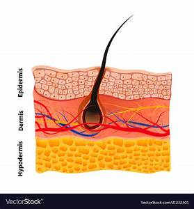 Detailed Human Skin Structure With Hair Medical Vector Image