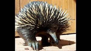 Echidna - My Animal Friends - Animals Documentary