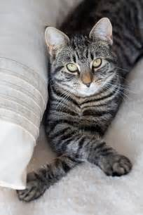 tabby cat pictures tabby cat cats photo 37156549 fanpop