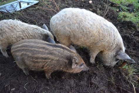 Birkegården: Glade svin