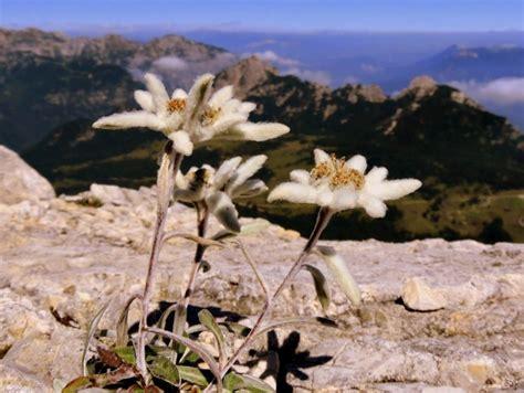 la stella alpina fiore leggenda stella alpina sulla nascita dell edelweiss nelle