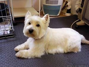 Haircut Styles For A West Highland White Terrier | june ...