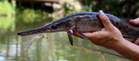 underrated florida freshwater fish species