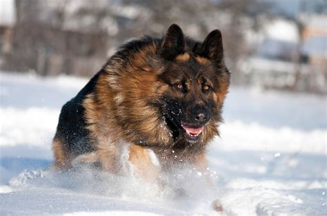 german shepherd running   snow wallpapers  images