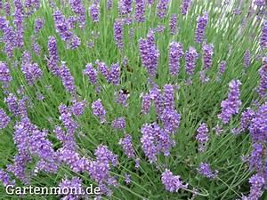 Lavendel Pflanzen Im Topf : steingarten pflanzen im topf garten design ideen um ihr ~ Michelbontemps.com Haus und Dekorationen