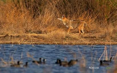 Wildlife Desktop Wallpapers Backgrounds Coyote Wiki Sanderling