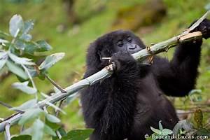 Rwanda | Gorilla Images
