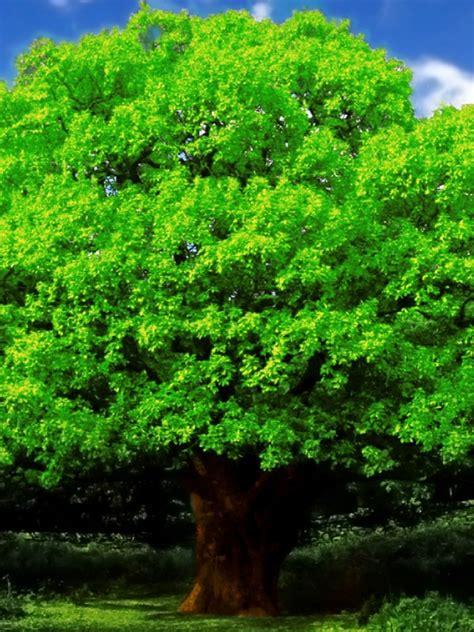 oak tree wallpaper wallpapersafari