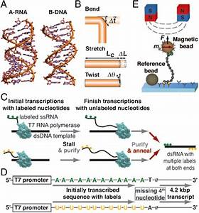 The Diagram Below Shows A Double Stranded Dna Molecule