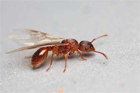 winged ant flying red ant 1 flickr photo sharing