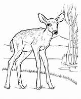 Deer Coloring Pages Animal Drawings Tail Drawing Tailed Baby Print Whitetail Buck Printable Animals Mule Identification Adult Wild Wildlife Getdrawings sketch template