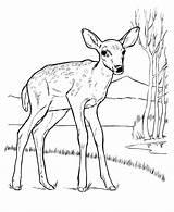 Deer Coloring Pages Animal Drawing Drawings Tail Tailed Printable Whitetail Deers Animals Buck Mule Identification Wild Wildlife Adult Getdrawings Popular sketch template