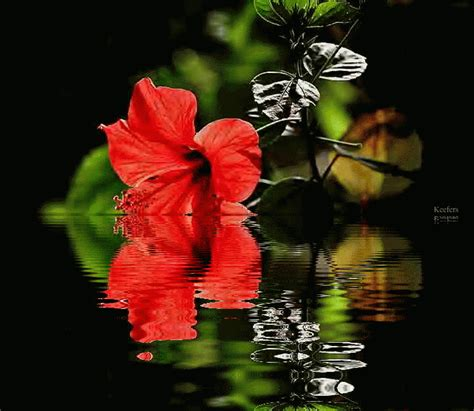 reflective red flower pictures   images