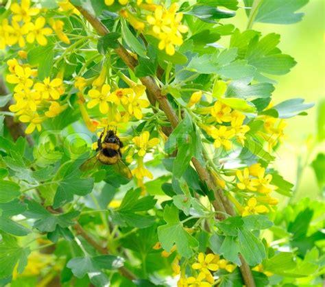 hummel jostabeere busch mit gelben stockfoto colourbox