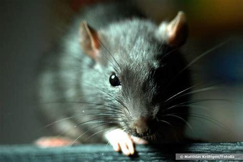 was fressen ratten am liebsten was fressen ratten am liebsten diese 7 rattenk 246 der locken ratten an
