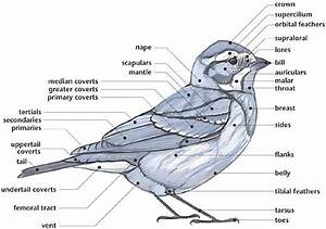 Link  External Anatomy Of A Bird  Multiple Diagrams For Song Birds  Shorebirds  Ducks And Gulls