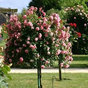 Rosier Tige Pas Cher : rosiers achat et vente de rosiers en ligne georges delbard ~ Dallasstarsshop.com Idées de Décoration