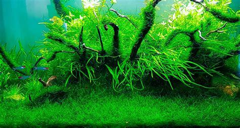 Java Moss Aquascape by Java Moss Carpet Photo By Aquascape Aquarium Aquarium