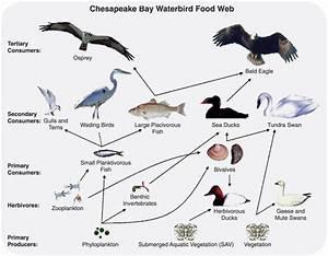 2 6 Food Webs  Food Chains