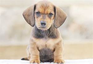 Dog Dachshund Puppies for Sale