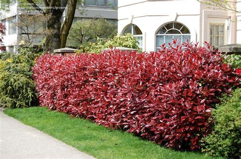 tip photinia red tip photinia early spring color landscaping ideas pinterest colors early spring and