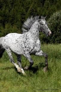 Leopard Appaloosa Horse