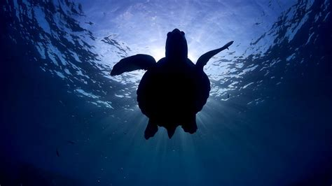 sea turtles   peril   populations