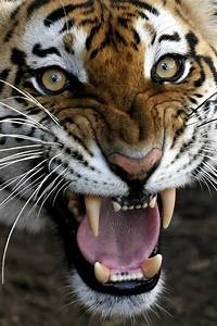 Bengal Tiger Face Growling