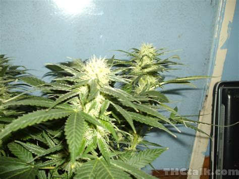 week 4 flowering dutch pasion orange bud week 4 flowering welcome to thctalk com cannabis gallery