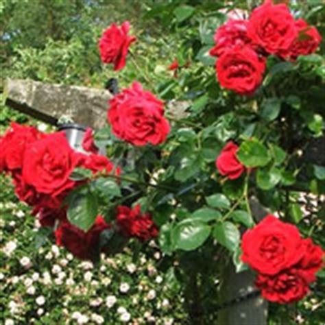 red climbing roses