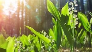 Comment Planter Du Muguet : comment replanter vos plants de muguet du 1er mai ~ Melissatoandfro.com Idées de Décoration