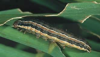 Grass Army Worm Caterpillars
