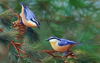 Birds Tree Branch Pine Nuthatch Bird Breasted