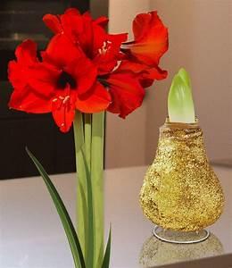 Amaryllis In Wachs : wachs amaryllis touch of magic gold 1 zwiebel g nstig ~ A.2002-acura-tl-radio.info Haus und Dekorationen