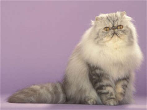 chat persan gris persan chat et chaton wamiz