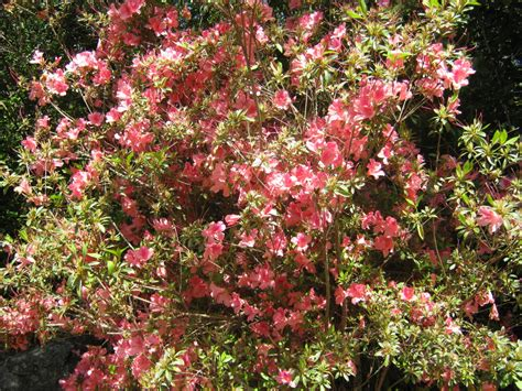 flowering bushes exotic shrubs the trees flowers of whangarei