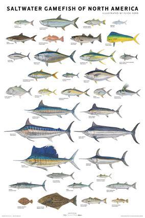 saltwater gamefish  north america poster independent