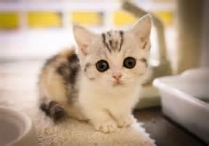munchkin cat munchkin cat history characteristics and temperament