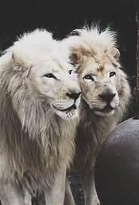 albino lions   Tumblr